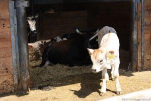 Fattoria didattica vitellino