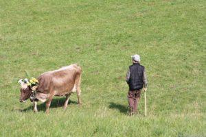 Mucca con pastore