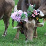 Mucche con fiori