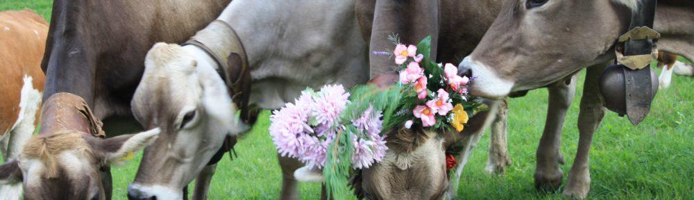 Mucche adobbate