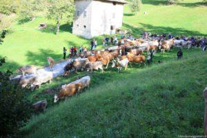 Mucche transumanza