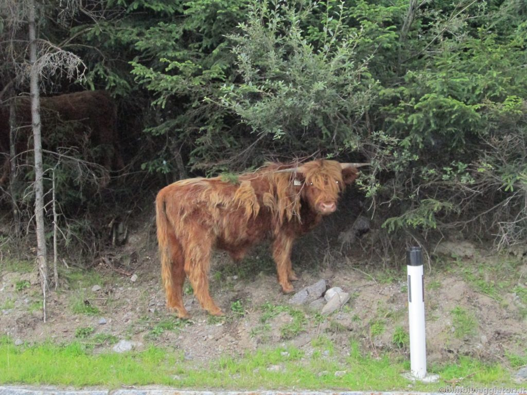 Mucca Highlander in Tirolo