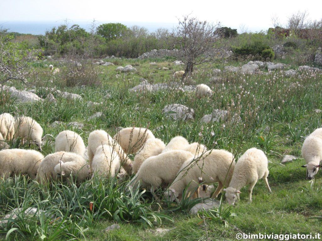 Pecore a Pag