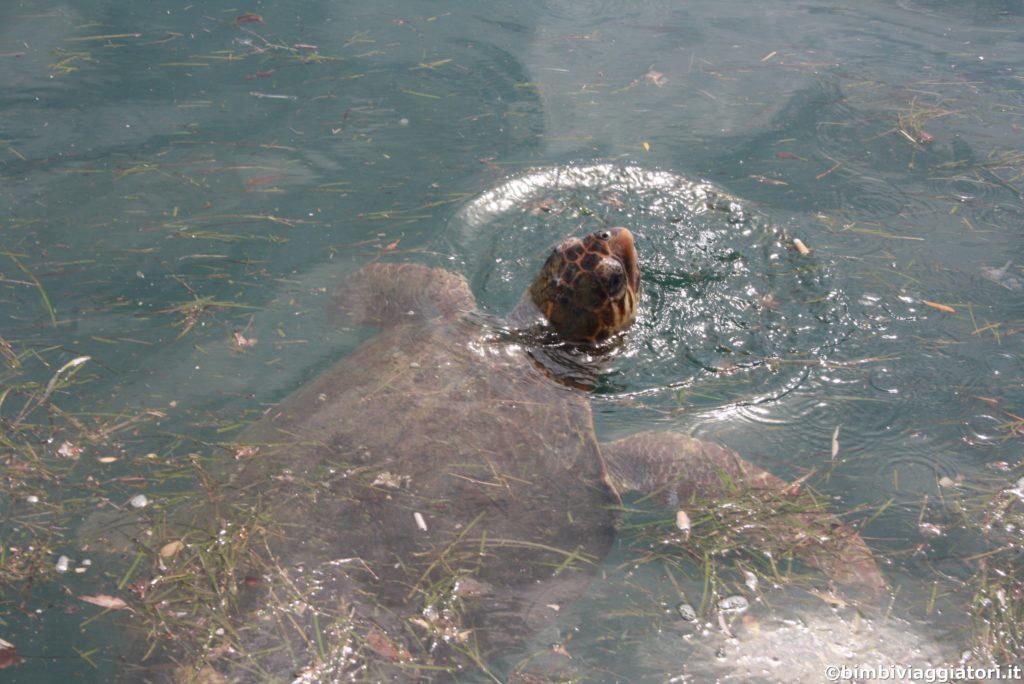 Tartaruga a Argostoli