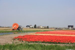 Colori tulipani