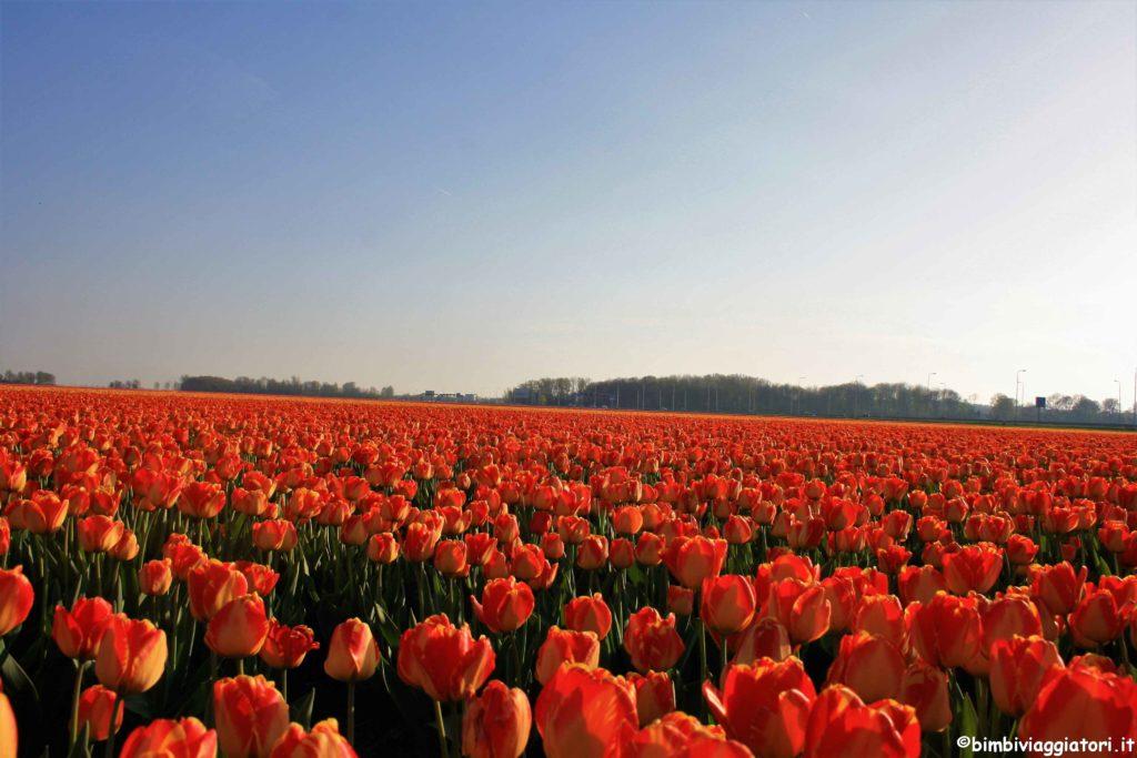 Olanda campi fioriti